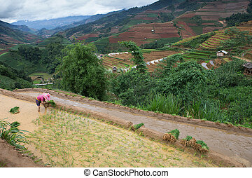 hmong - A farmer of Hmong working transplant on rice field ,...