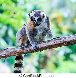 Ring-tailed lemur - Lemur catta