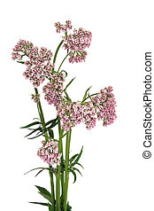 Valerian Herb in Flower - Valerian herb in flower isolated...