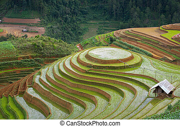 rice - Rice fields on terraced in rainny season at Mu Cang...
