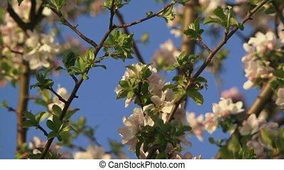 Bumblebee Pollinating Apple - A beautiful apple blossom in...