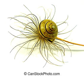 naturals - a seed from the anemone with snail