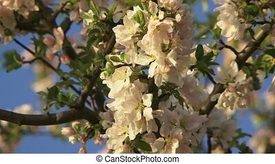 Flowering Tree - A beautiful apple blossom in the background...