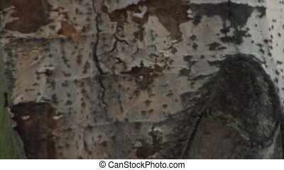 close-up of aspen tree trunk - the vertical panorama of...