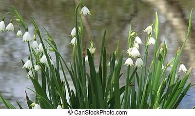 Summer snowflake, Leucojum aestivum in bloom - medium shot....