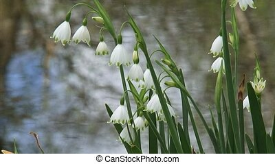Summer snowflake, Leucojum aestivum in bloom - close up....