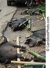 Porks tied to bamboo canes before their being sacrificed in...