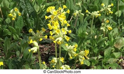Cowslip (primula veris) close up yellow flower + zoom out