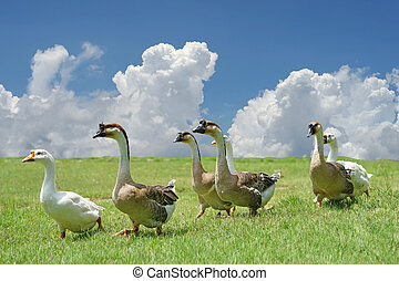 group of domestic goose walking on the field with beautiful...