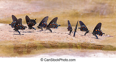 Pipevine Swallowtails - A group of Pipevine Swallowtails...