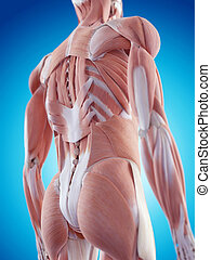 The back muscles - medically accurate illustration of the...