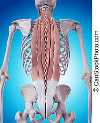 The deep back muscles - medically accurate illustration of...
