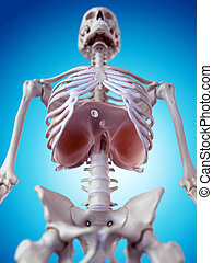 The diaphragm - medically accurate illustration of the...