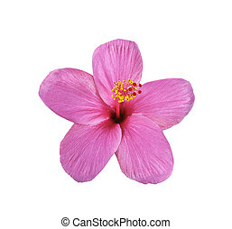 Pink hibiscus on white - Pink hibiscus isolated on white...