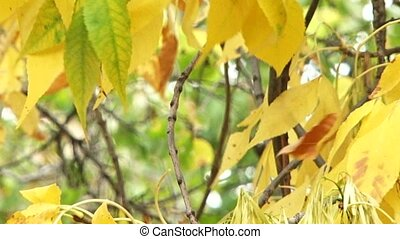 Autumn - The wind blows and shakes the leaves Focusing on...