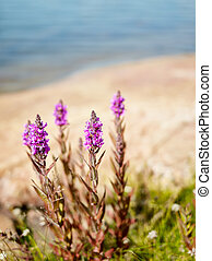 Purple loosestrife - copy space - Purple loosestrife (Ulva...