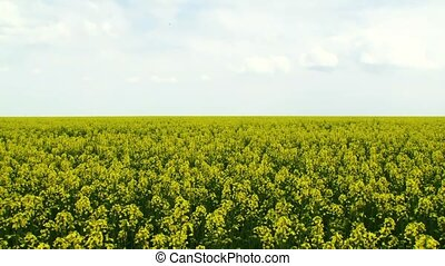 Insects Pollinate Canola - Beautiful yellow canola field in...