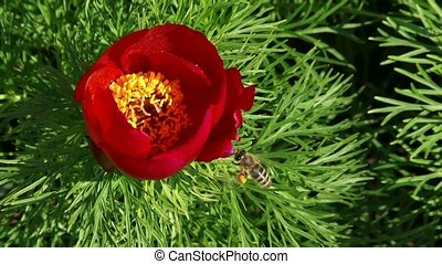 Poppy With A Bee - A bee pollinates a beautiful poppy...