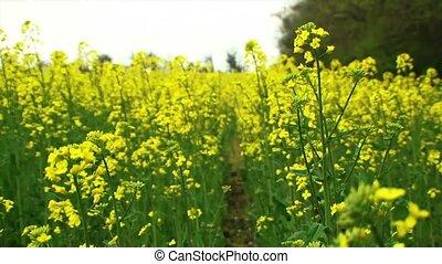 Yellow Rape - Beautiful yellow canola fields. The background...