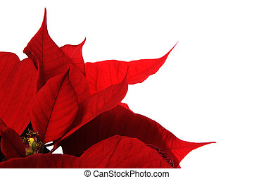 red poinsettia flowers on the white background