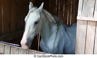 beautiful white horse stands in the enclosure