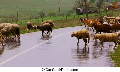 Herd of sheep pass through road. There is a strong rain. On...