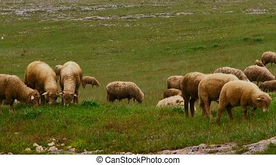 Small Cattle - The livestock is grazed on a green meadow....