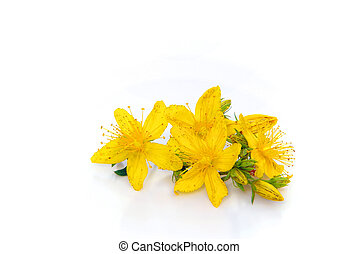 St Johns wort isolated 01