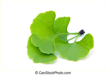 ginkgo leaf isolated 01