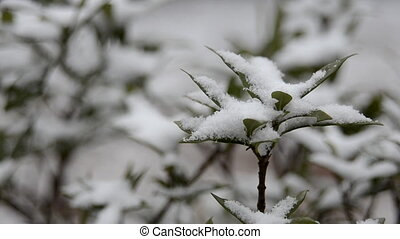 Snow on Bushes Close Up - Snow accumulates on bushes during...