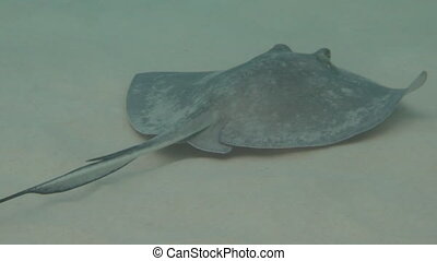 Southern Stingray makes a turn - A southern stingray swims...