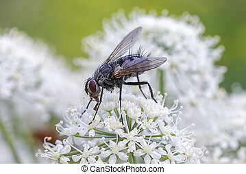 House fly sitting on a white cow parsley flower. Sweden