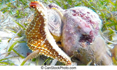 Starfish eats Conch - A cushion sea star is eating a queen...