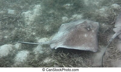 Stingray swims past camera - Two southern stingrays swim...