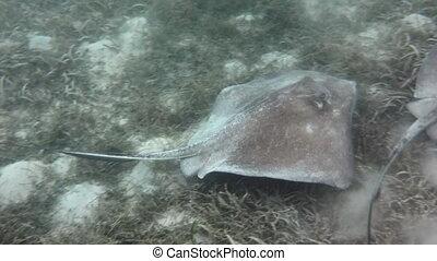 Stingray swims past camera - Two southern stingrays swim...