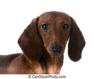 miniature dachshund - miniature smooth dachshund portrait on...