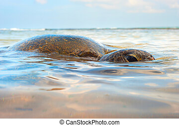 Ocean turtle - Close-up view of a turtle in the ocean. Sri...