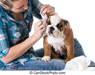 dog grooming - bulldog getting ears cleaned by woman