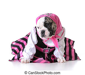 pirate puppy - dog dressed up like a pirate on white...