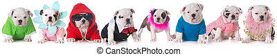litter of puppies - litter of bulldog puppies dressed up in...