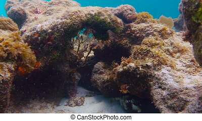 Trunk Fish Swimming Around Coral - A large trunk fish swims...