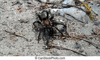 Turantula swarmed by ants - A tarantula remains completely...