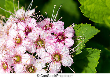 Ornamental Flowering Bush - A closeup of an ornamental pink...