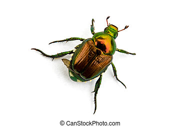 Japanese Beetle Popillia japonica isolated on a white...