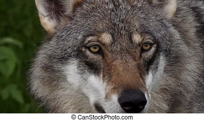 closeup of a european wolf