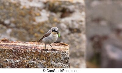 wheatear in norway