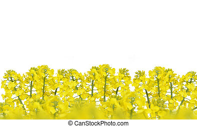 Flower of a rapeseed, Brassica napus, isolated on white...