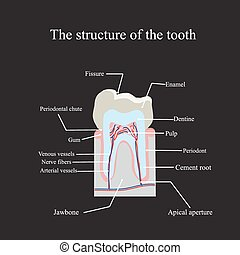 The anatomical structure of the tooth on a black background.