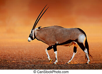 Gemsbok on desert plains at sunset - Gemsbok ( Oryx gazella)...
