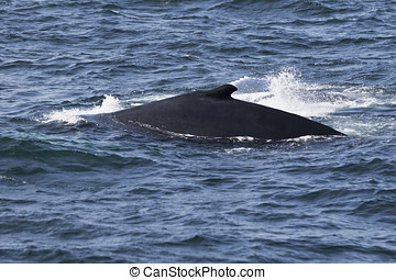Whale watching. - Whale watching experience off the coast of...